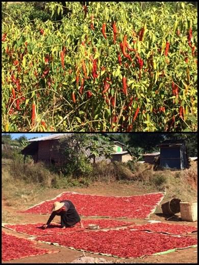 Chili pepper harvest time!