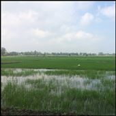 Rice field on our way to the beach in Hoi An. : by finally, Views[73]