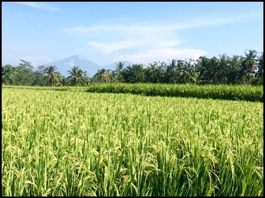 Walk in the rice fields surrounding Ubud.