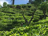 Tea plantations in Ella where the famous Ceylon tea comes from. : by finally, Views[195]