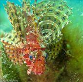 Scorpion Fish: by fkasinsky, Views[210]