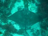 Short tailed sting ray: by fkasinsky, Views[235]