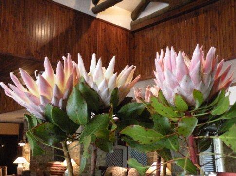 Fynbos (Flores típicas de esta zona y características de Sudáfrica)