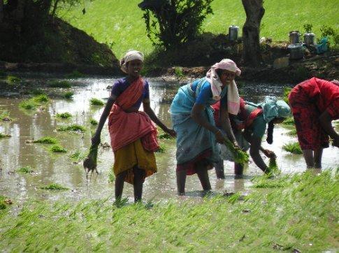 Mujeres cosechando arroz. Camino a Trichy