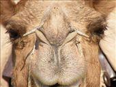 Otro plano del camello : by flachi-gus, Views[288]