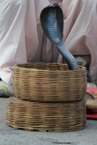 Jaipur, región de Rajasthan. Cobra encantada
