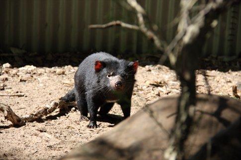 Demonio de Tasmania