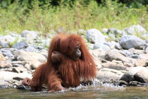 Zsa Zsa, orangutana hembra que vive del otro lado del río Bohorok (frente a nuestro hotel!)