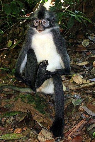 Curioso Thomas Leaf Monkey