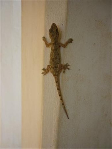 We are in gecko heaven here...they're everywhere