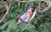 Giant kingfisher: by flavie_sunny, Views[173]