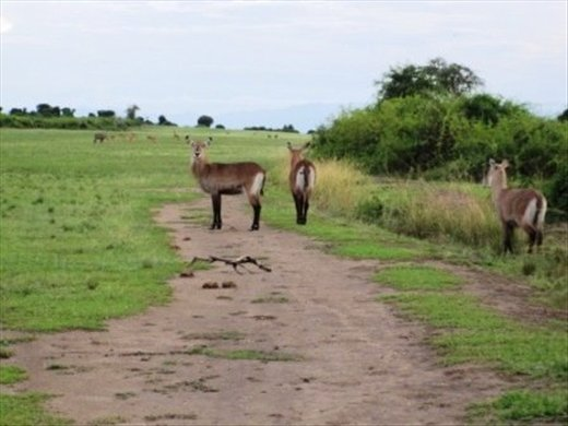 The airstrip just behind our hostel was a fav grazing ground for many animals - especially hippos at night