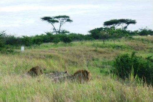 These lions looked like they were innocently watching the sunrise ... but what you can't see here is that to the right is a valley of agricultural land with a few people hoeing the ground - thats what the lions were watching intently
