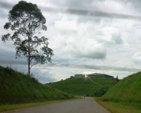 on the road to Lake Mburo there were hills and hills covered in tea