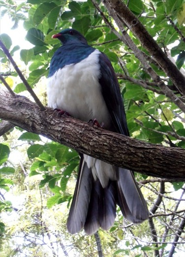 Pigeon (kereru) sitting just above our heads, Tiritiri Matangi
