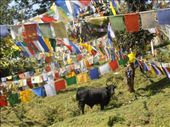 Cow browsing peacefully beside the kora under many prayer flags: by flyingpiglet, Views[405]
