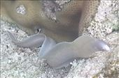 Baby moray eel in a rock pool on the reef below Matavai Resort. : by flyingpiglet, Views[321]