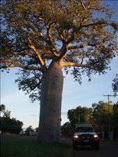 Giant Boab tree - Kununarra: by fops, Views[212]