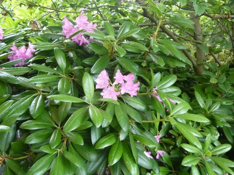 Azaleas everywhere, Vancouver and Victoria, in various stages of bloom...