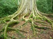 Strangler Fig Tree Roots: by freedom-sparkles, Views[1006]