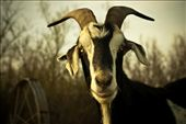 On farms, goats are often considered a living lawnmower, devouring any grass & vegetation in it's path. It's widely known there isn't much a goat won't eat.: by freshwater, Views[244]