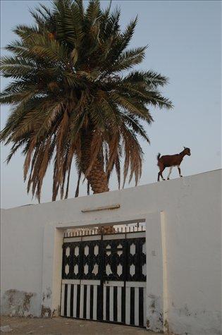 La cabra / The goat