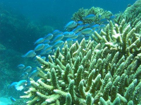 Blue-green Chromis over a hard coral Joe
