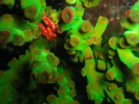 Red Crab in Green Coral?? JOE