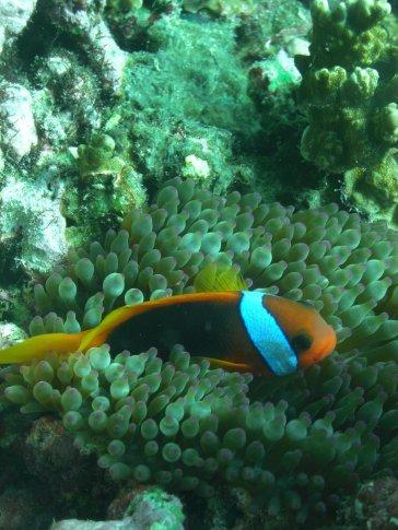 Clownfish and Anenomie JOE