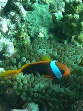 Clownfish and Anenomie JOE: by gborchers3, Views[245]