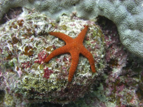 Star Fish JOE