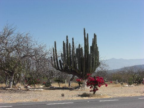 A cactus Ed liked on the road to Oaxaca
