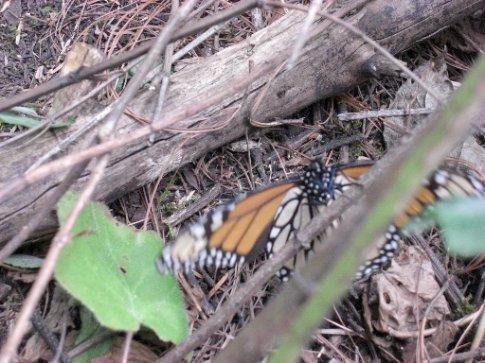 Finally a monarch!