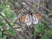Monarch butterfly: by gemma, Views[211]