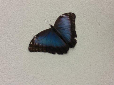 Huge blue butterfly!