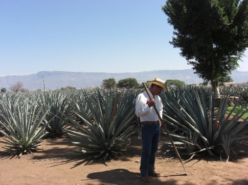 A jimador in Tequila