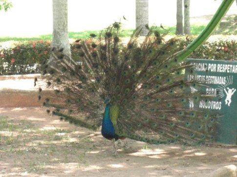 Peacock at Yumka