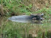 The local water buffalo : by gemmamickle, Views[171]