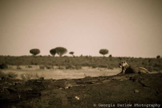 A lioness surveys her prideland from a rock in the Maasai Mara, Kenya