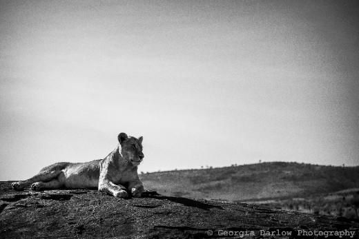 A lioness enjoys a moment of solitude sunbathing on a rock in the Maasai Mara, Kenya