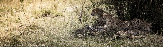 A trio of cheetah enjoy some relief from the midday heat under a bush in the Maasai Mara, Kenya