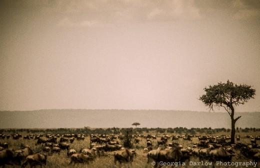 A herd of migrating wildebeest make their way across the Maasai Mara savannah in Kenya.
