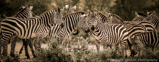 A herd of zebra in the Maasai Mara, Kenya