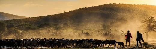 A couple of Maasai herdsmen bring in their cattle at dusk in the Maasai Mara, Kenya