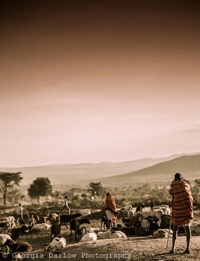 A Maasai herdsman keeps watch over his herd at dusk in the Maasai Mara, Kenya