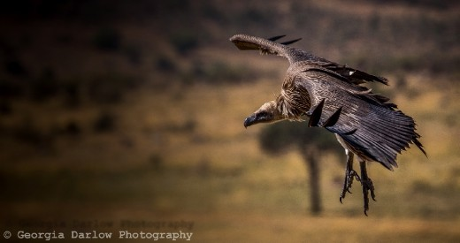 A vulture soars above the Maasai Mara, Kenya