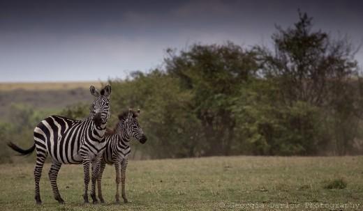 A zebra mother and foal in the Maasai Mara, Kenya