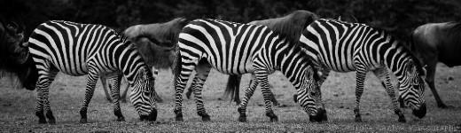 A trio of zebra grazing in the Maasai Mara, Kenya