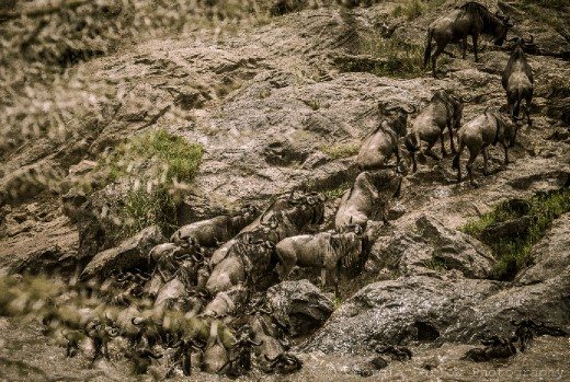 A migrating herd of wildebeest gather the courage to cross the river in the Maasai Mara, Kenya