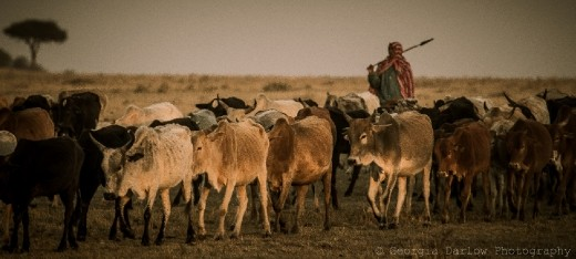 A Maasai herdsman tends to his cattle in the Maasai Mara, Kenya